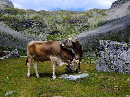 Cows playing along Serristori hut approach path