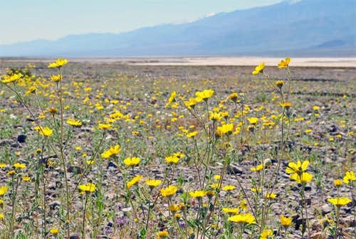 Death Valley wildflowers in...