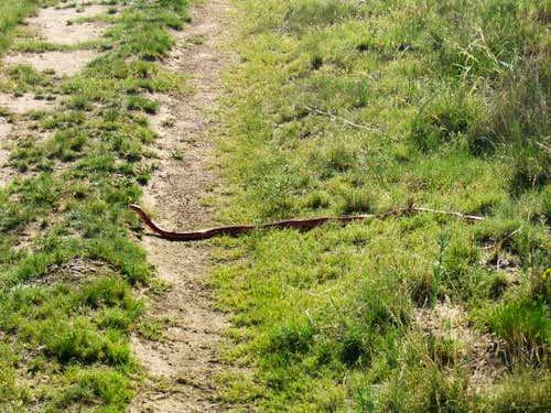 Red snake??