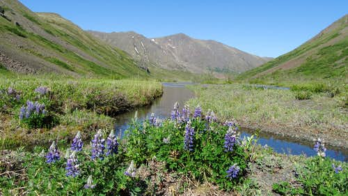 Lupine flowers in the Eagle Lake valley