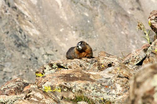 Marmot on Kelso Mountain