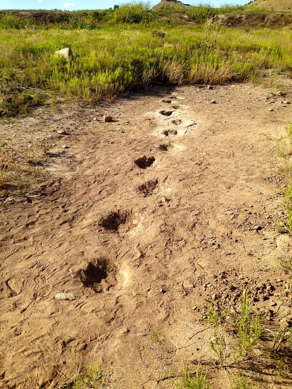 Allosaurus Tracks very near Black Mesa OK trailhead
