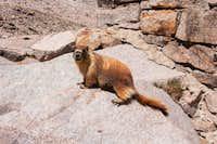Marmot at Muir Hut on Muir Pass