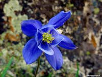 a specimen of Alpine columbine grown near the rocks