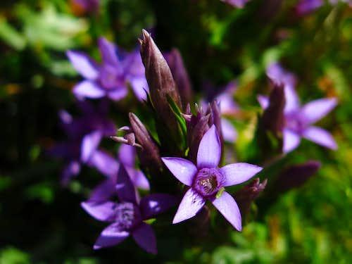 Gentiana germanica, Sass Becè meadows