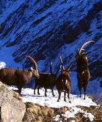 Animals of the Gran Paradiso...