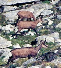 Animals of the Gran Paradiso National Park:  <br>group of chamoises (Rupicapra rupicapra)