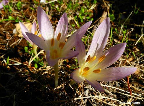 Colchicum autumnalis, Supramonte