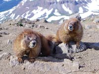 Gangster Marmots
