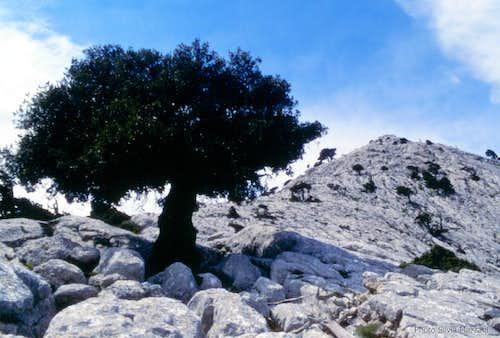 Majestic ilex grown on the rocky tableland near Cusidore