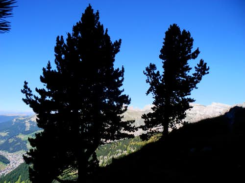 Pines grown on the summit