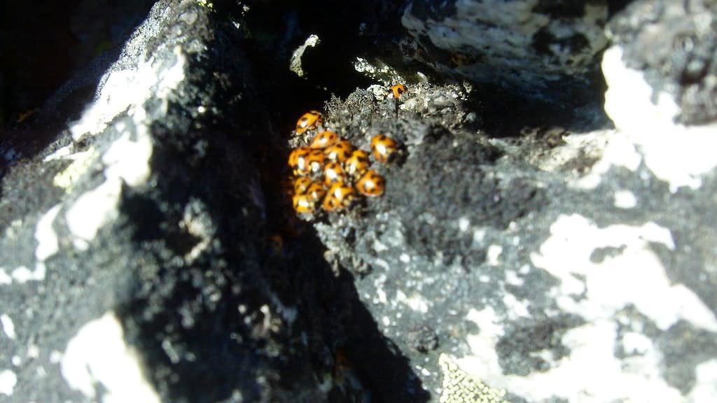 Lady bugs huddling