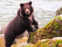 cub on the Chilkoot