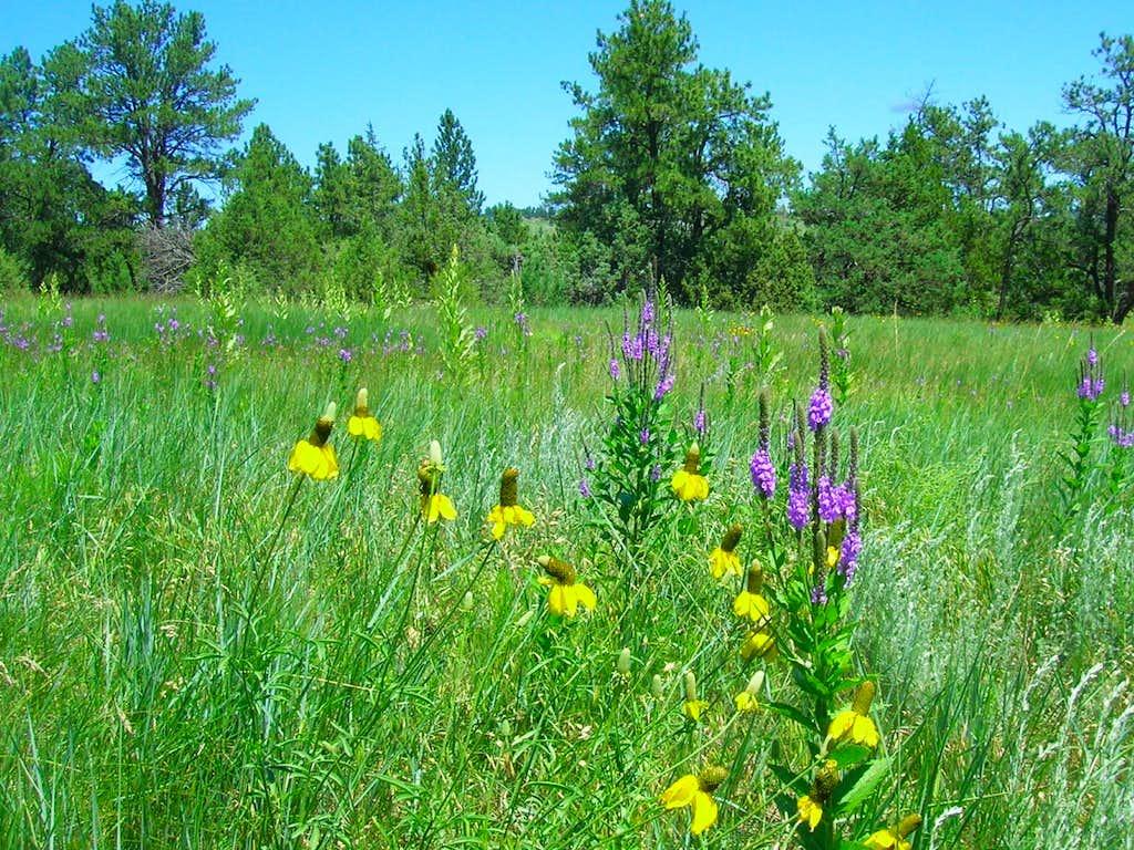 Wildflowers in the Seven Sisters Range