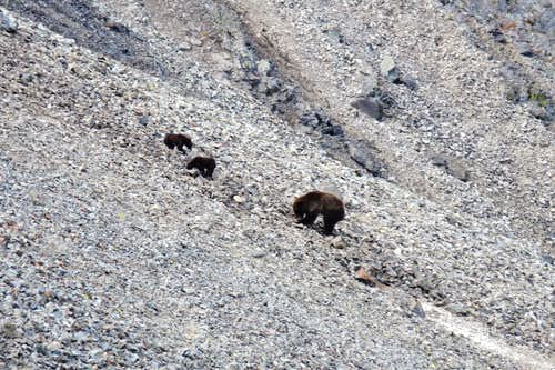 Mama Grizzly and Cubs on Sunlight Peak