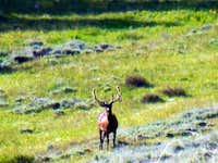 Bull elk still in velvet