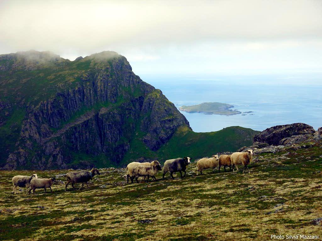 Sheep on Fingghameia, Dronningruta