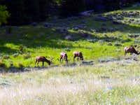 A group of bull elk