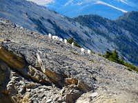 Mountain goat herd