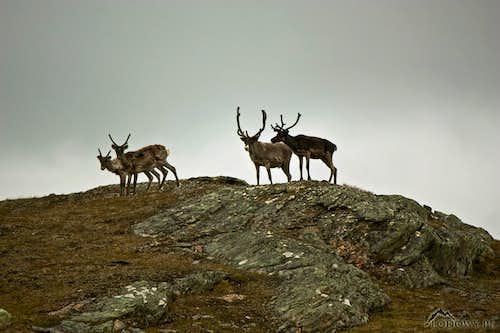 Reindeers of Singi