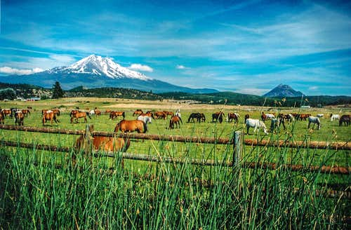 Mt. Shasta and a whole lot of horses.