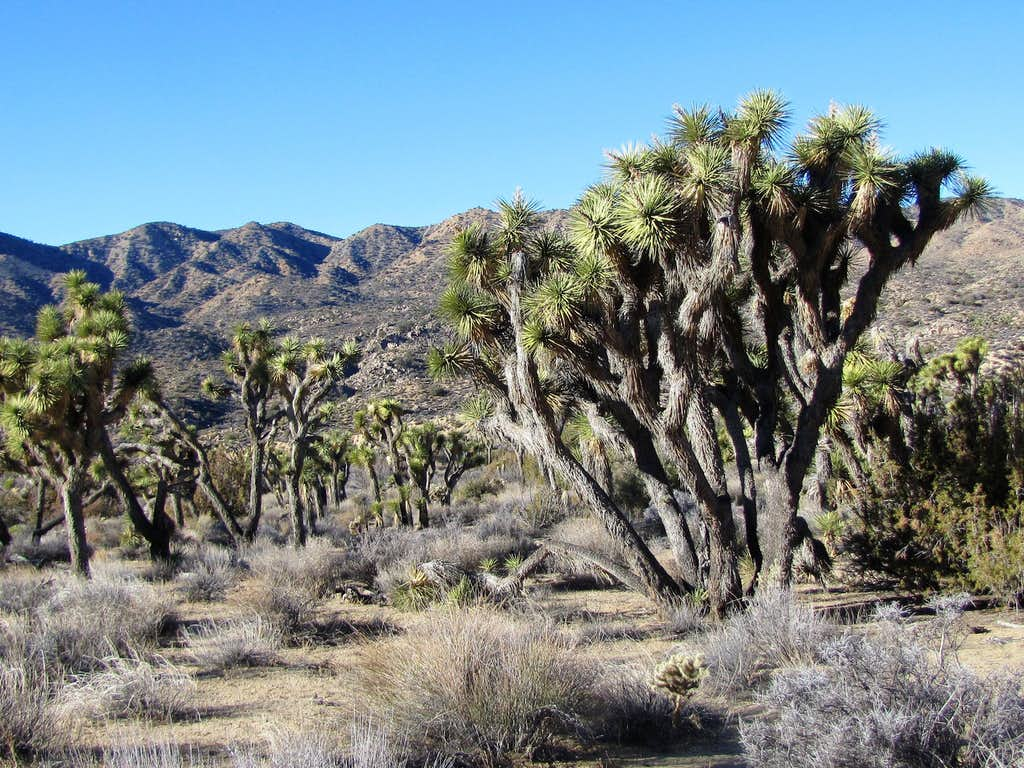 Joshua Trees on the low section of the trail