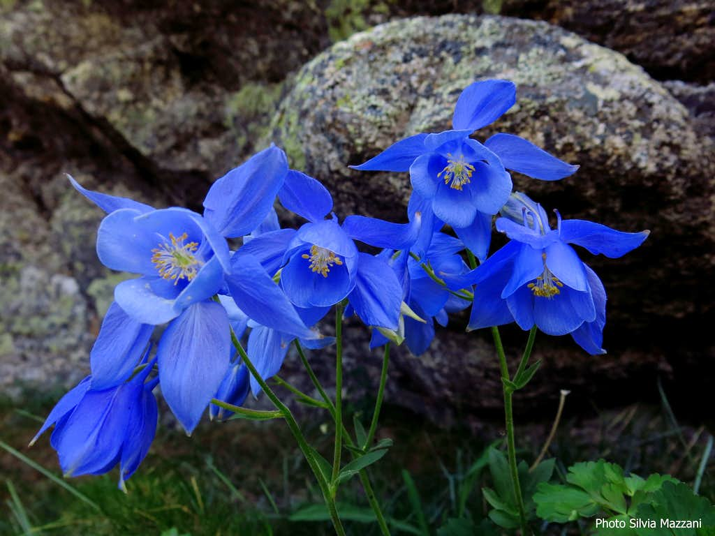 Blooming of Aquilegia Bernardii (Columbine) along Acellu descent