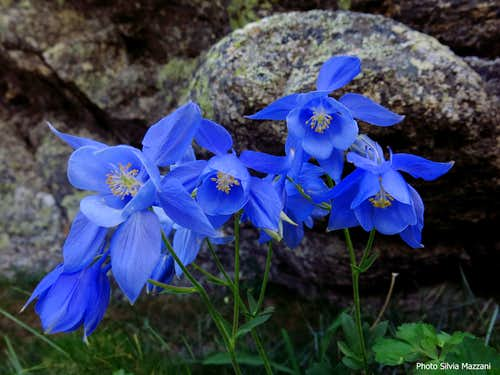 Blooming of Aquilegia Bernardii (Columbine) along Acellu descent