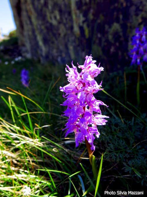 Blooming along Acellu descent (Orchidea Maculata)