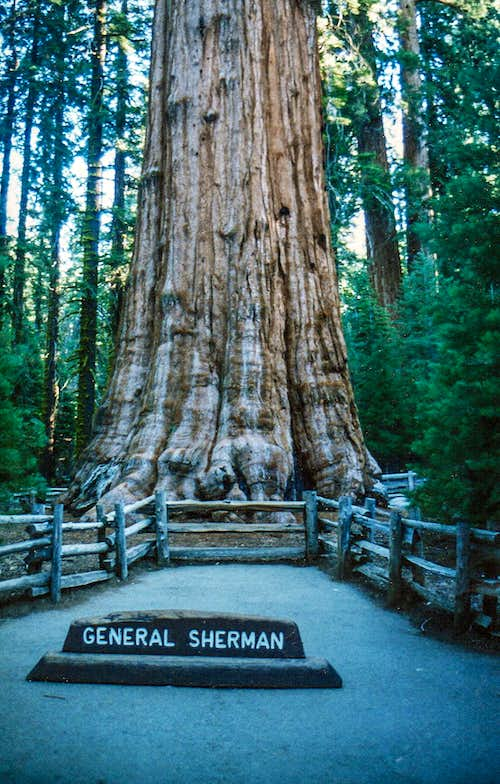 Biggest tree in the world