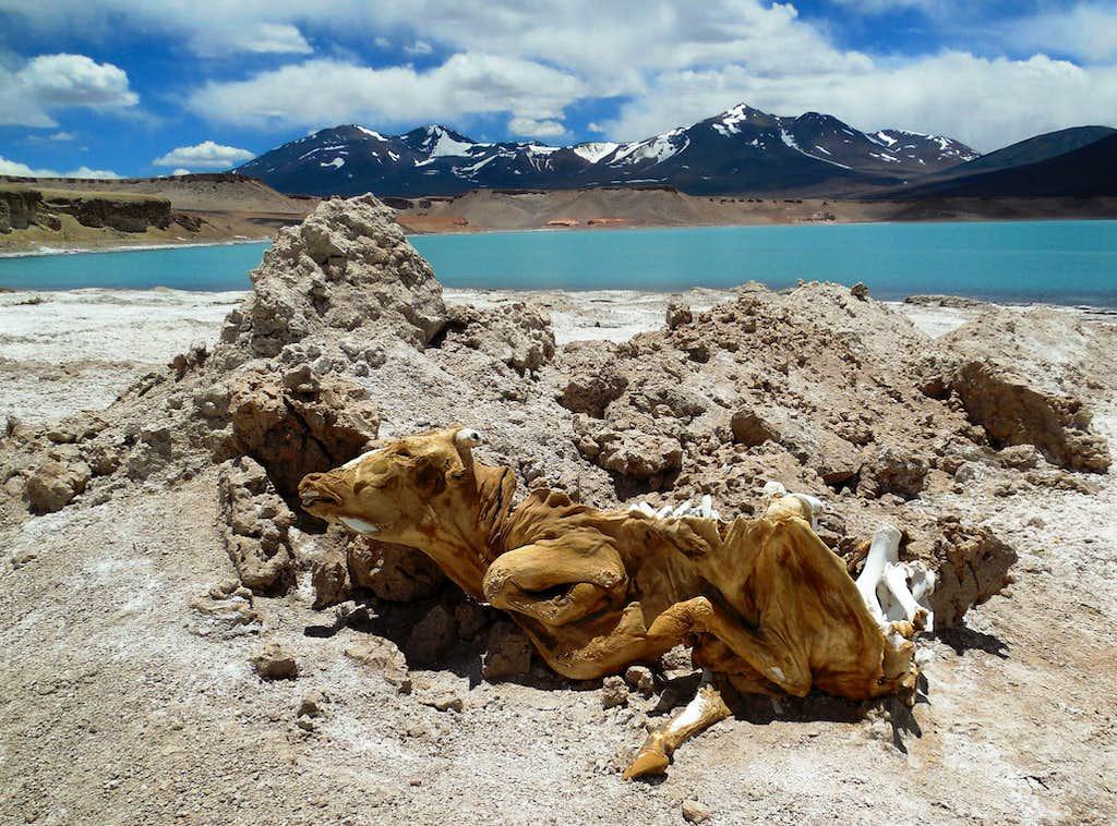 Mummified cow