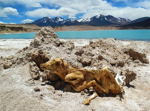 Mummified cow