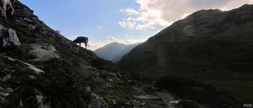 Grazing cow at the Tellajoch (2358m)