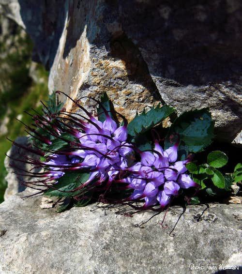 Physoplexis comosa (Raponzolo di roccia), Little Dolomites