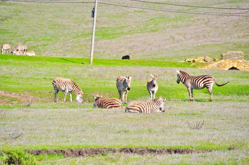 Zebras of California