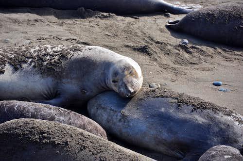 Elephant Seals' birthing season