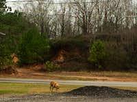 Alabama Wild Dogs