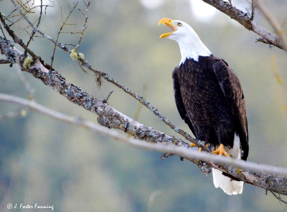 Brilliant Bald Eagle Calling Photos Diagrams Topos Summitpost Wiring Digital Resources Remcakbiperorg