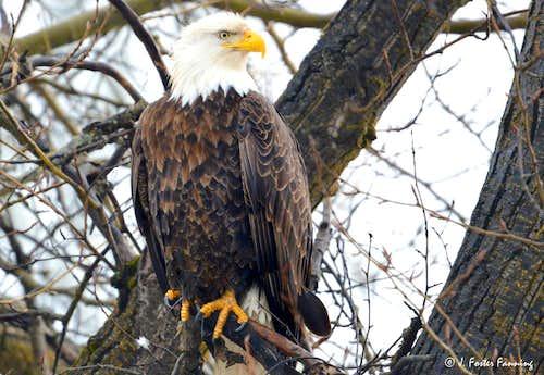 Mountain Wildlife - Bald Eagle