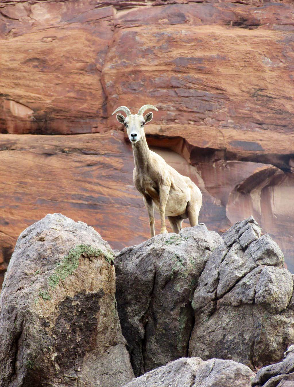 DESERT BIGHORN SHEEP IN DOMINGUEZ CANYON, COLORADO