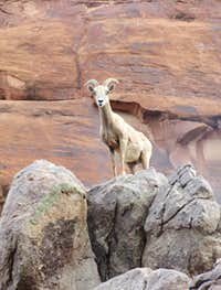 DESERT BIGHORN SHEEP IN DOMINGUEZ CANYON, COLORADO