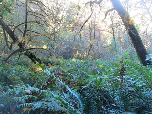 ferns below the redwoods