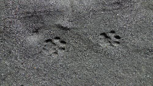 Snow Leopard Paw Prints : Photos, Diagrams & Topos ...