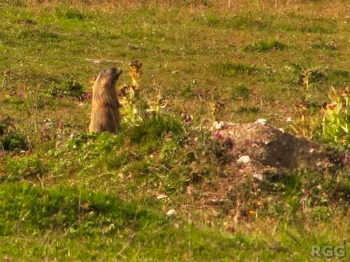 Alpine marmot in the upper Avigna valley