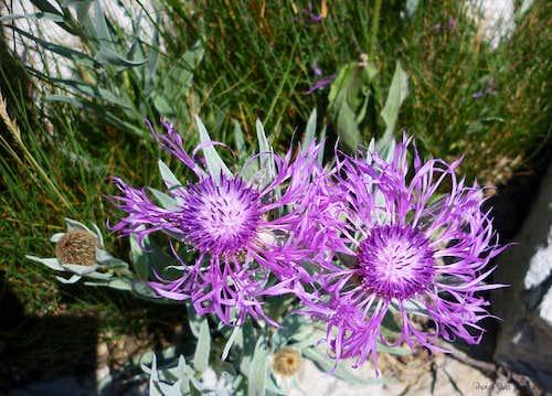 Centaurea Montana, Croce Provenzale