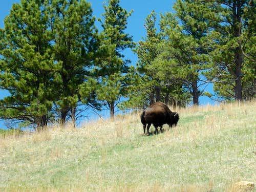 Buffalo Sentry