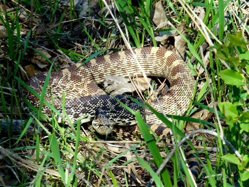 Bullsnake in the grass