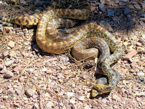 Mating Bullsnakes on the Trail