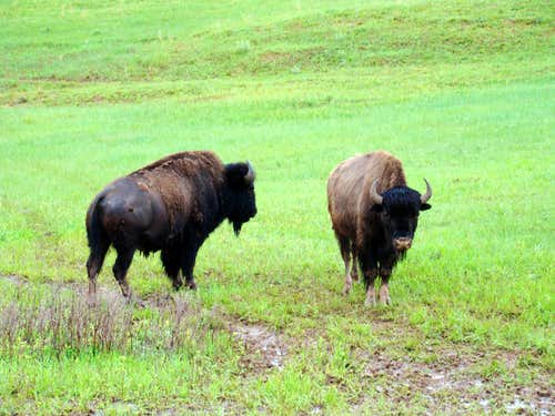 Wind Cave NP Bison