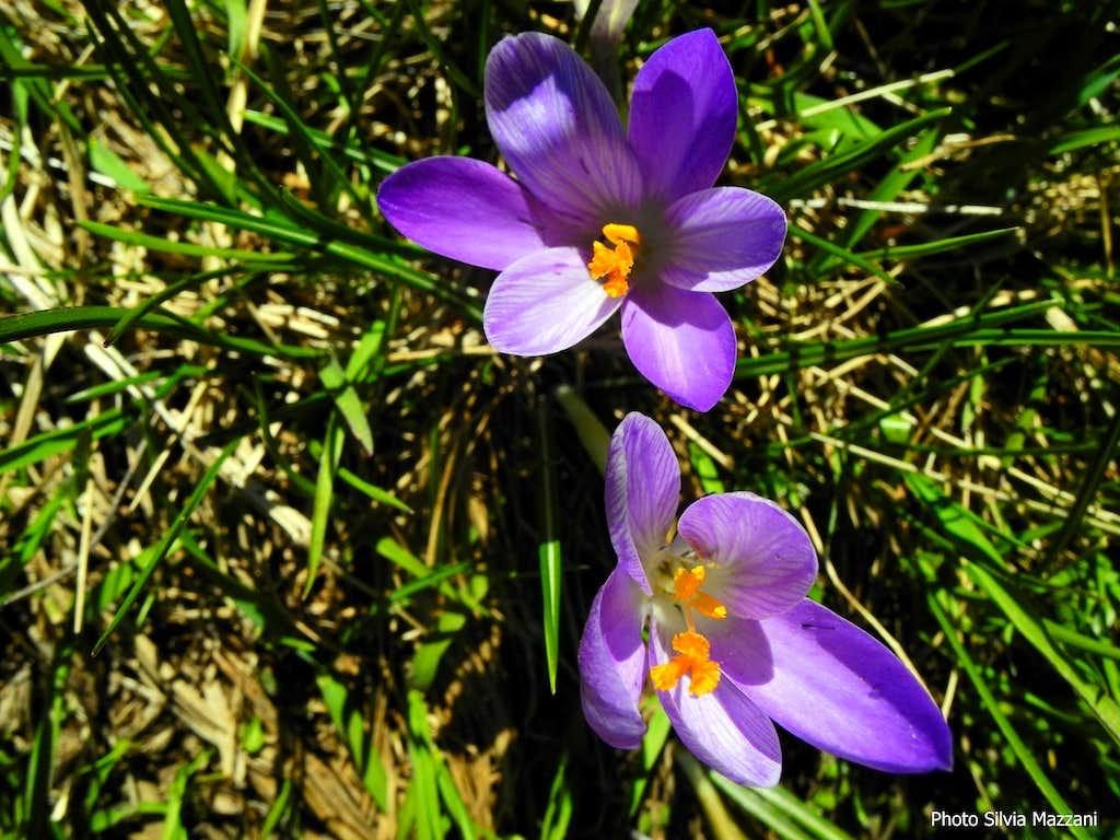 Spring crocus, Monte Marmagna